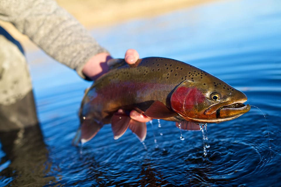 catching-a-pretty-rainbow-trout-on-the-north-platte-river-in-wyoming-960px