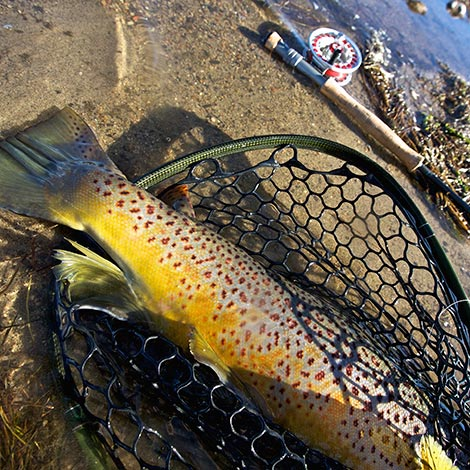 Colorful-Brown-Trout-in-a-net-on-the-banks-of-the-North-Platte-River