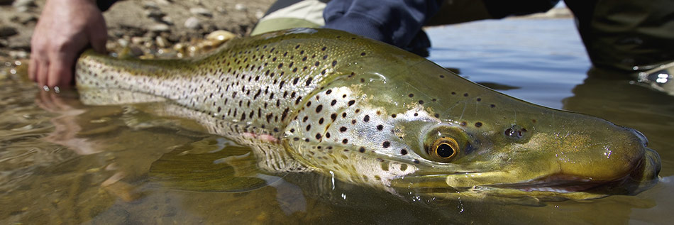 Pricing-Huge-Trout