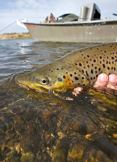 Releasing-A-Big-Brown-Trout-Back-To-The-North-Platte-River