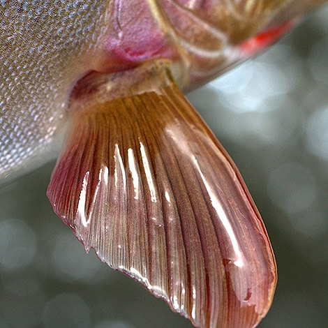Trout-Fin-Closeup