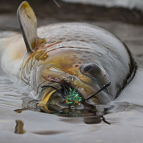 Trout-With-A-Fly-in-its-mouth